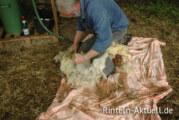 Schafe im Sommerkleid: NABU-Skudden werden geschoren