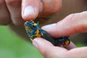 NABU Rinteln: Abtauchen in die Welt von Gelbbauchunke und Kreuzkröte