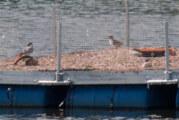 Seltene Vogelart zurück an der Oberweser: Flussseeschwalben brüten in Hohenrode