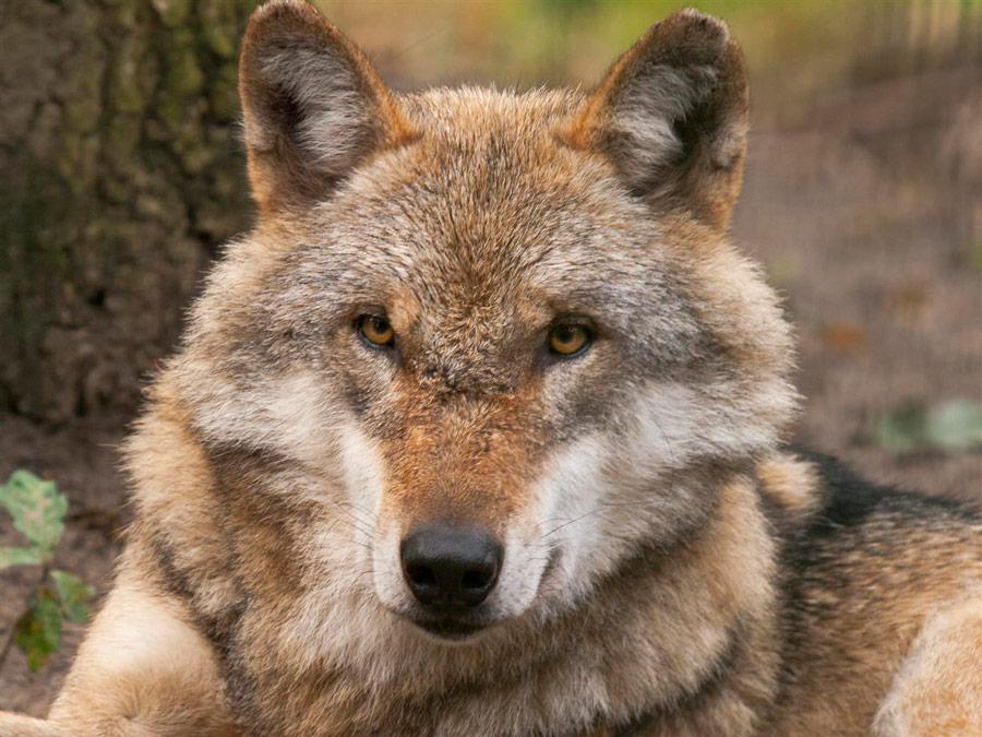 01-rintelnaktuell-nabu-naju-wolfscenter-doerverden