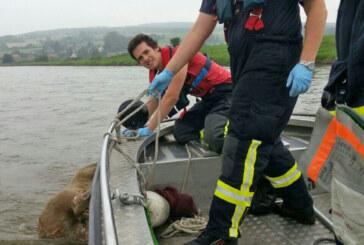 Feuerwehren bergen Tierkadaver aus der Weser
