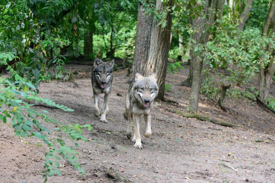02-rintelnaktuell-nabu-naju-wolfscenter-doerverden