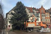 Rintelner Weihnachtsbaum wird zum zweiten Mal gefällt
