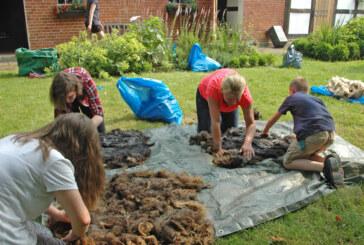 Kinder filzen Schurwollvliese von Skudden-Schafen