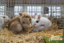 Engern: Mittelweserschau für Kaninchen mit Kanin-Hop Turnier