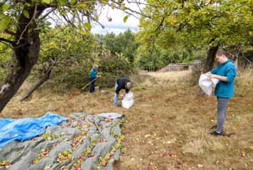 """""""Apfelbäumchen, schüttel dich!"""": Ernte auf der NABU-Streuobstwiese in Hohenrode"""