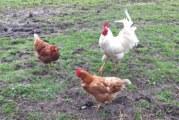 Vogelgrippe H5N8: Landkreis Schaumburg ordnet Stallpflicht für Geflügel an
