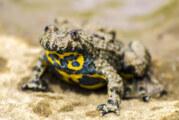Neues Großprojekt zum Amphibienschutz beim NABU: Startschuss durch Umweltminister Olaf Lies