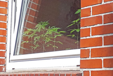 Cannabispflanzen auf der Fensterbank