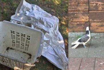 Dressierte Tauben gestohlen und in Wäschekorb wieder ausgesetzt