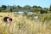 Handarbeit im Naturschutzgebiet: NABU Rinteln dünnt Jakobskreuzkraut aus