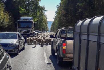Wegen Schafherde gebremst: Unfall in Rolfshagen