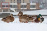 Warum Entenvögel nicht festfrieren und nicht gerettet werden müssen