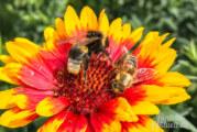 Honigbienen, Hummeln, Hornissen: Ein Tag für die Wildbiene im natour.NAH.zentrum Schillat-Höhle