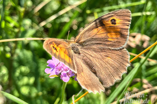 """Lasst es blühen!"": Ökologisches Mähkonzept soll Insekten in Sommermonaten helfen"