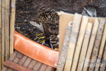 Ente gut, alles gut: Tierischer Nachwuchs unter Palmen geschlüpft