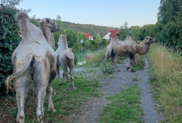 Kamele auf Entdeckungstour
