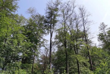 Niedersächsische Landesforsten besorgt: Buchen leiden unter Wassermangel, Trockenstress und Sonnenbrand