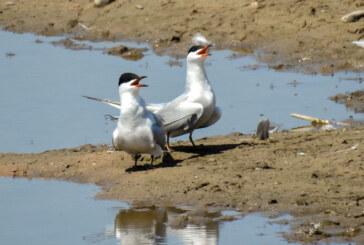 Zu Besuch bei Flussseeschwalbe & Co.