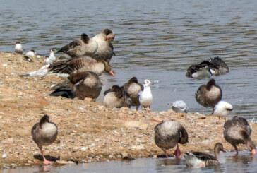Sommerliche Exkursion in Auenlandschaft: Ganz nah bei Flussuferläufer und Flussseeschwalbe