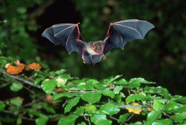 23. Europäische Batnight: NABU lädt ein zur Fledermauswanderung in den Blumenwall