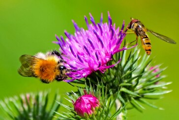 Faszinierende Welt der Wildbienen kennenlernen: Vortrag im Museum Eulenburg