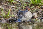 Zu Gast im Dorf am See: Zugvögel machen Halt in der Auenlandschaft Hohenrode