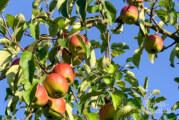 Hohenrode: Das Apfelfest unter freiem Himmel feiern