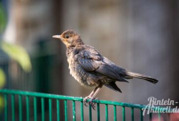 """NABU meldet 18.000 Teilnehmer bei der """"Stunde der Gartenvögel"""""""