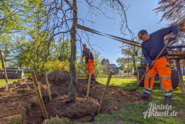Eindrucksvolle Baumsorte: Süntelbuchen in Rinteln gepflanzt