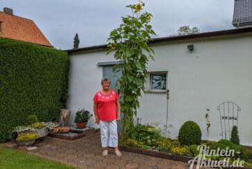 Drei-Meter-Sonnenblume im heimischen Garten