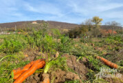 Bio Acker Coverden kehrt zurück: Gemüse zum Selbsternten mit Blick auf die Schaumburg
