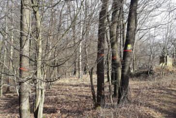 Baumfällungen: 70-jährige Eschen am Klippenturm sind krank