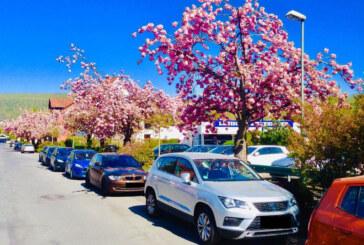 CDU-Antrag: Japanische Zierkirschen in Rintelner Nordstadt pflanzen