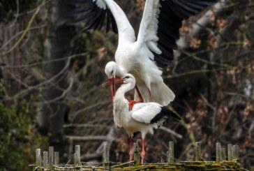 Storchenpaar baut Nest am Heinekamp