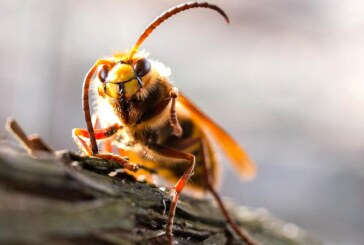 Keine Angst vor Hornisse & Co.: Spannende Einblicke in die Insektenwelt