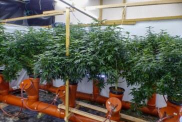 Fast 1.500 Cannabispflanzen gefunden: Polizei hebt Drogenplantagen aus