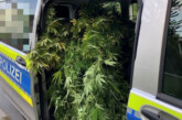 Über zwei Meter hohe Cannabispflanzen im Garten gefunden